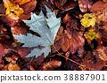 Autumn Leaves 38887901