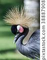 Black Crowned Crane 38887908