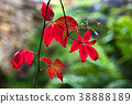 Virginia Creeper 38888189