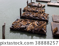 California Sea Lion (Zalophus californianus) 38888257