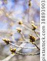 【도쿄】 벚꽃의 꽃 봉오리 38893903