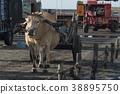 濕地 牛車 牛 38895750