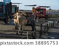 濕地 牛車 牛 38895753