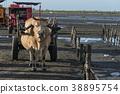 濕地 牛車 牛 38895754
