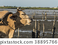 濕地 牛車 牛 38895766