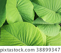 Elephant Creeper leaves in The Background 38899347