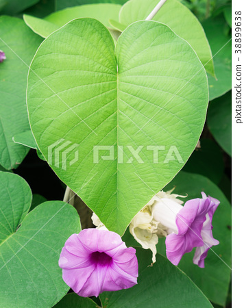 Leaves Heart-Shaper Purple Flowers 38899638
