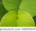 Texture of Elephant creeper Leaf 38899640