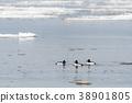 Beautiful Goldeneye ducks 38901805