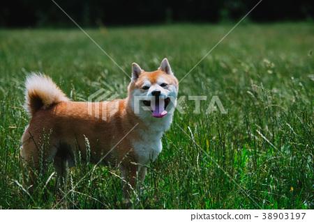 close up on shiba inu dog on grass 38903197