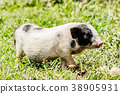 Young funny pig on a spring green grass 38905931