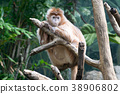 Javan lutung on a tree 38906802