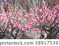 핑크 매화 38917539