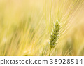 Close up ears of wheat, Barley field background 38928514