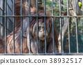 Eyes contact wiht big orange orangutan 38932517