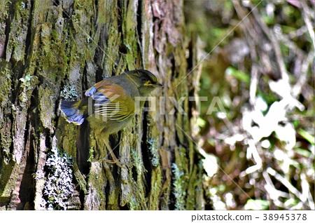 藪鳥 38945378