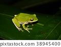 樹蛙 綠色 青蛙 38945400