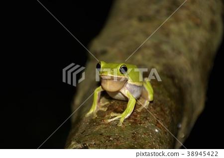 Tree frog 38945422