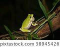 樹蛙 綠色 青蛙 38945426