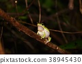 樹蛙 綠色 青蛙 38945430