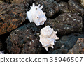 Conch shell on the basalt rock 38946507