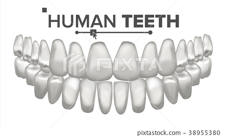 Tooth Mouth Anatomy Vector. Human Teeth. Healthy 38955380