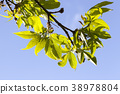 young, green, leaves 38978804