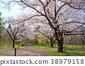 ดอกซากุระบาน,ซากุระบาน,สวน 38979158