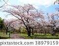 ดอกซากุระบาน,ซากุระบาน,สวน 38979159