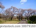 ดอกซากุระบาน,ซากุระบาน,สวน 38979160