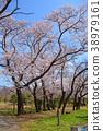 ดอกซากุระบาน,ซากุระบาน,สวน 38979161