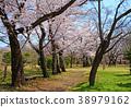 ดอกซากุระบาน,ซากุระบาน,สวน 38979162