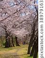 ดอกซากุระบาน,ซากุระบาน,สวน 38979163