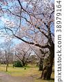 ดอกซากุระบาน,ซากุระบาน,สวน 38979164