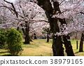 ดอกซากุระบาน,ซากุระบาน,สวน 38979165