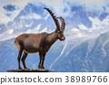 Ibex, Range of Mont Blanc, France 38989766