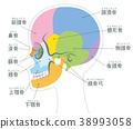 頭蓋骨 骨頭 骨骼 38993058