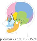 头盖骨 骨头 骨骼 38993578
