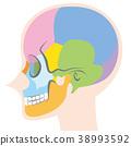 头盖骨 骨头 骨骼 38993592