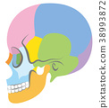 头盖骨 骨头 骨骼 38993872
