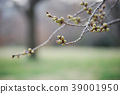 cherry blossom, cherry tree, bud 39001950