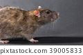 animal gray rat close-up 39005833