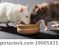 white and gray rats eat 39005835