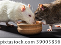 white and gray rats eat 39005836