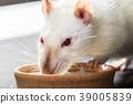 animal white rat eating 39005839