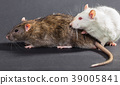 white and gray rats 39005841