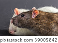 white and gray rats 39005842