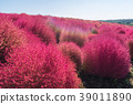 Kochia and cosmos filed Hitachi Ibaraki Japan 39011890