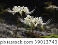 cluster amaryllis, red spider lily, licorice 39013743