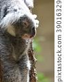 코알라, 동물, 유대류 39016329